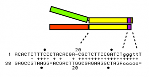 The Y adapter for Illumina sequencing
